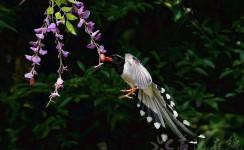 五一节拍摄红嘴蓝尾雀采吃红果果