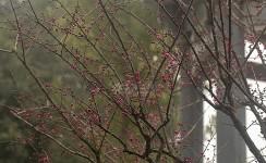新春到来梅满枝