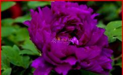 国色天香,花开富贵
