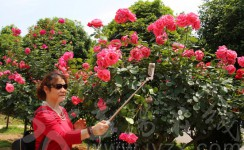 一米八高的玫瑰花