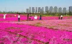 芝樱花开 大地铺毯