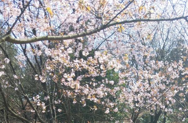 城院樱花盛开 游人纷至沓来