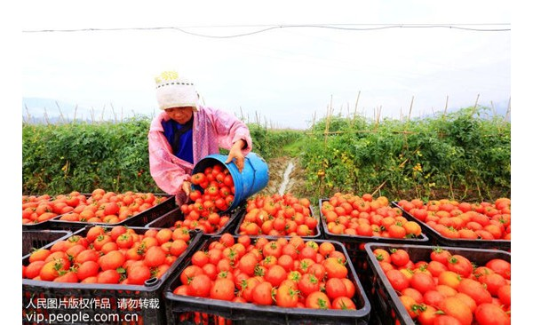 """西红柿能防晒?它为什么被称为""""能吃的防晒霜"""""""