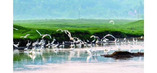 志溪河湿地!成群白鹭栖息!照片来了