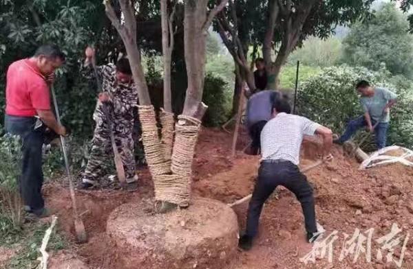 25株树阻了高铁施工,桃江多部门合力移栽