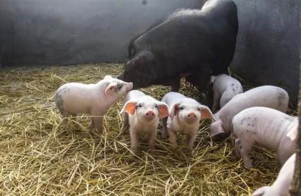 【热点难点问题】猪肉价格再创新高,AG和记娱乐人直呼买不起!不过,好消息来了